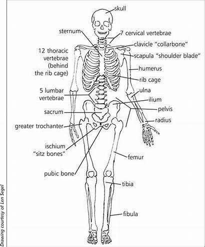 System Skeleton Human Structure Skeletal Bones Drawing