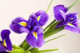the language of flowers iris flower meaning flower meaning
