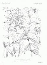 Coloring Botanical Botany Sheets Adults Template Popular Library Clipart Coloringhome sketch template