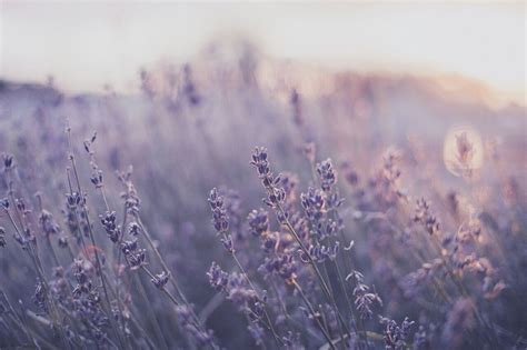 lavender aesthetic laptop wallpapers