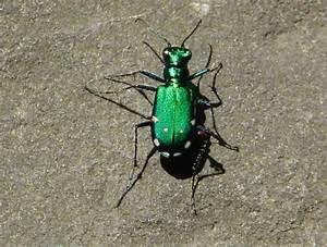 backyard critter watch: Metallic Green Beetles in NY