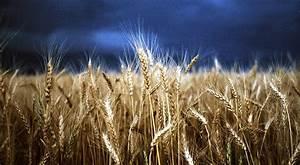 Ruby Mines: .....Wheat Fields...