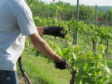 trim grape vines pruning the insurance vines jones farmer blog