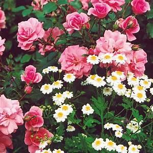 Was Passt Zu Rosen : rosen und ihre begleiter juli 2007 familienheim und garten ~ Lizthompson.info Haus und Dekorationen