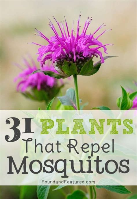 mosquito repelling shrubs looking for a natural mosquito repellent presenting a list of 31 mosquito repelling plants