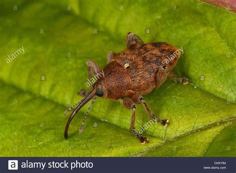 https://www.alamy.com/stock-photo-nut-weevil-hazelnut-weevil-curculio-nucum-balaninus-nucum-sitting-47920660.html