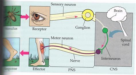 Fysiologie van de hersenen