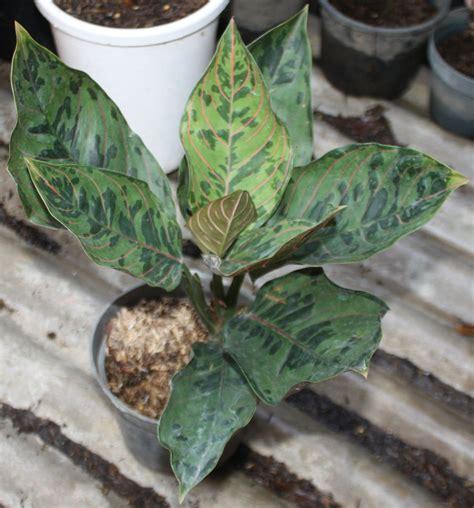 jual tanaman hias indoor aglaonema pictum lapak karya