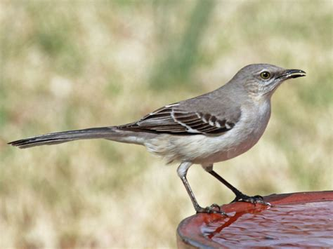 birds of north america and more mockingbirds and allies
