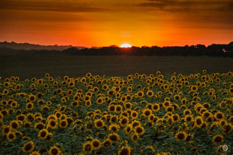 sunset  field  sunflowers background high