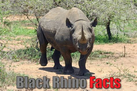 black rhino facts  kids rhinoceros pictures