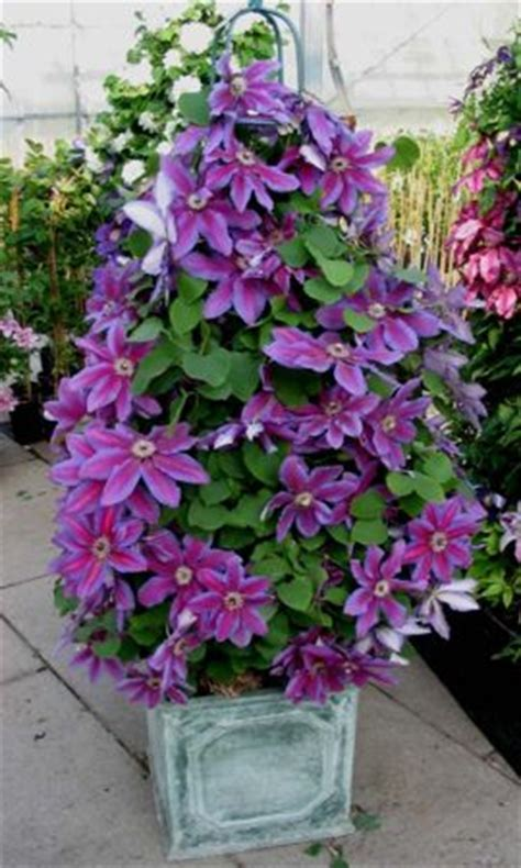 clematis care in pots 28 images clematis ooh la la taylors clematis clematis bijou taylors