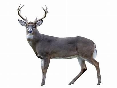 Deer Poaching Boosting Penalties Legislature Oks Bill