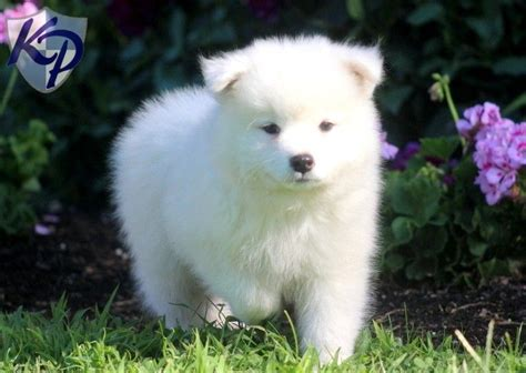 Samoyed Dog Puppies For Sale Dogs Pinterest Puppies