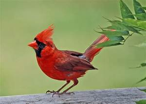 Cute Cardinal | wild birds | Wild Animal and Birds