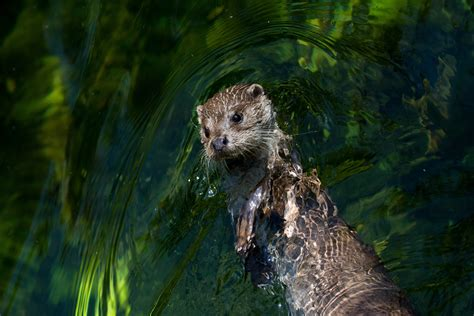 animals, Mammals, Otters Wallpapers HD / Desktop and ...
