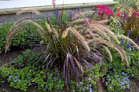 is purple grass a perennial or annual purple fountain grass