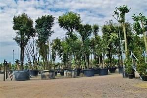 Große Zimmerpflanzen Kaufen : gro en baum palme pflanze mallorca ibiza balearen kaufen frei haus ~ Frokenaadalensverden.com Haus und Dekorationen