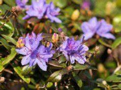 Rhododendron Eingerollte Blätter : rhododendron pflanzen und pflegen so wird s gemacht ~ Markanthonyermac.com Haus und Dekorationen