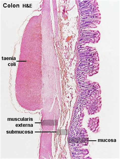 gastrointestinal tract colon histology embryology