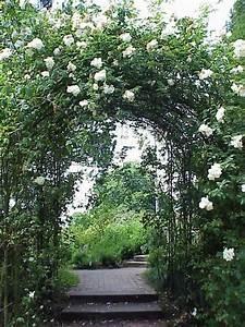 Ilse Krohn Superior : photo of the entire plant of rose rosa 39 ilse krohn superior 39 posted by admin ~ Eleganceandgraceweddings.com Haus und Dekorationen