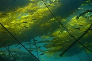 Bull Kelp  U2013  U0026quot Ocean Treasures U0026quot  Memorial Library