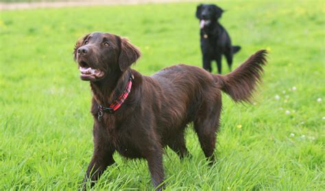 Does Flat Coated Retriever Shed by Haired Retriever Pictures To Pin On Pinsdaddy