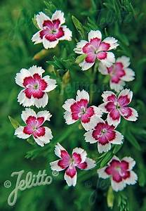 Jelitto Perennial Seed   DIANTHUS deltoides 'Arctic Fire ...