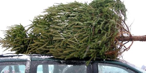 do real christmas trees have bugs are there bugs in your real tree