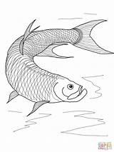 Tarpon Coloring Fish Pages Betta Printable Drawing Walleye Template Sketch Getdrawings Supercoloring sketch template