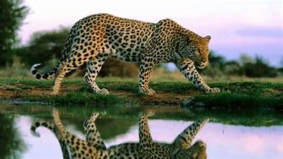 Leopard Wild Animals Awesome Wallpapers Animal Cheetah