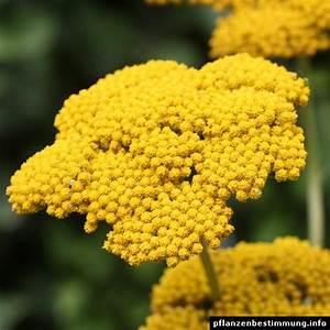 Gelb Blhende Pflanzen Und Blumen Bestimmen