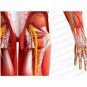 Posterior view - Hip - Deep muscles, blood vessels and nerves