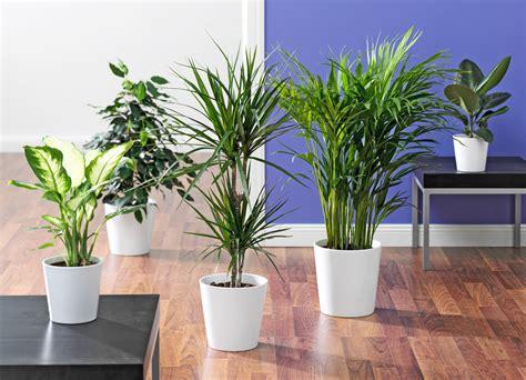 Große Pflanze Wohnzimmer by Der Ficus Im Wohnzimmer Die Calathea Im Bad Die