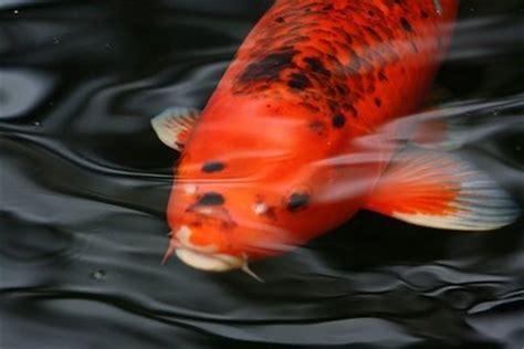 Koi Goldfische Graskarpfen Fische Fuer Den Gartenteich by Anleitungen Im Bereich Garten Zum Thema Koi Goldfische