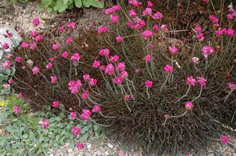 thrift plant vesuvius sea thrift armeria maritima rubrifolia in burlington waterdown dundas ontario