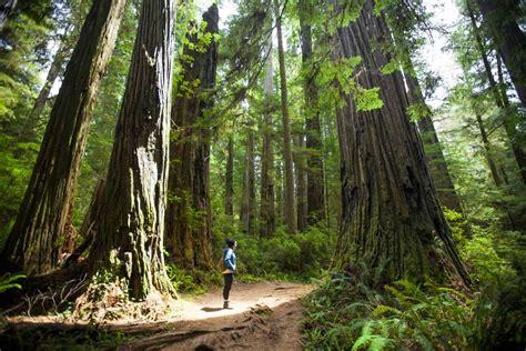 visiting californias redwood national park