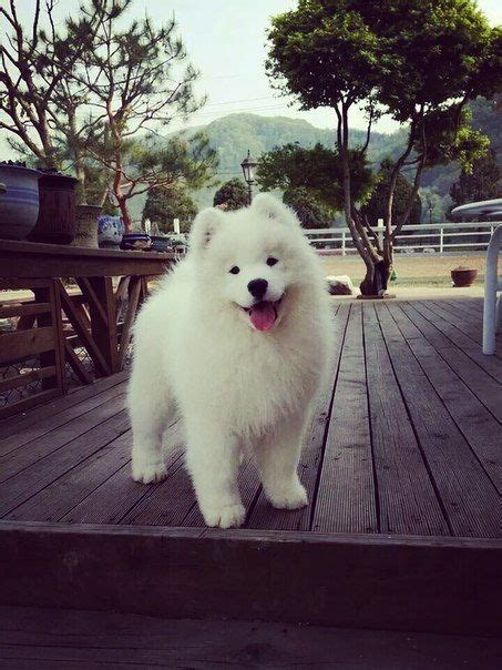 115 Best Images About Samoyed Dog On Pinterest Chow Chow