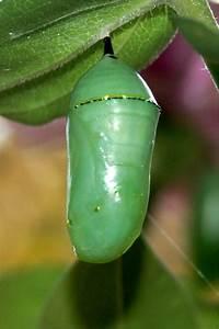 Monarch Butterfly Pupa  Chrysalis