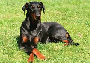 Doberman Pinscher | Australian Dog Lover