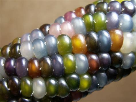glass gem seeds tywkiwdbi quot tai wiki widbee quot quot glass gem quot corn