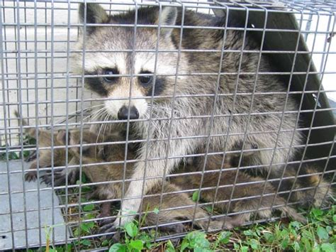 How To Catch A Raccoon In My Backyard by Animal Removal Trapping Animal Evictor