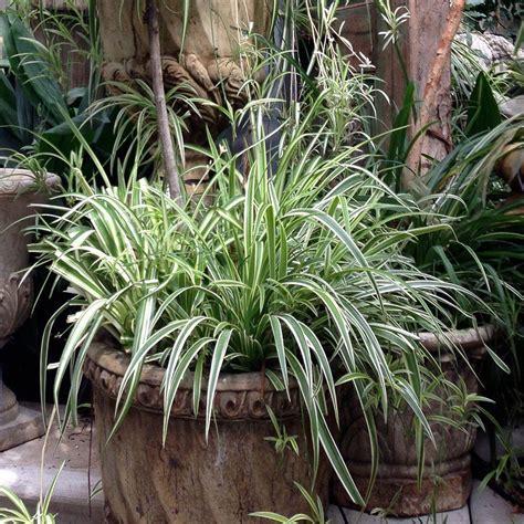 brown zebra print onlineplantcenter 1 gal variegated japanese sedge