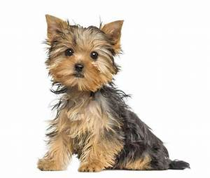 Male Yorkie Names Perfect For Cute Boys Like Yours