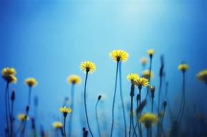 flower flowers yellow blue background wallpaper widescreen ...
