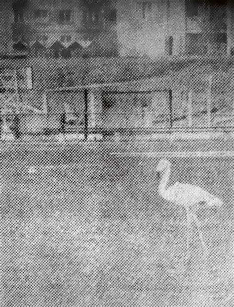 Par sārtā flaminga statusu Latvijā - Putni dabā