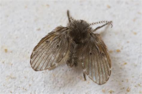 moucherons dans la cuisine un insecte volant non identifi 233 uniquement dans la sdb
