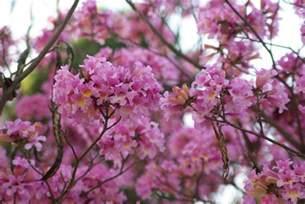 Pink Flowering Tree Identification