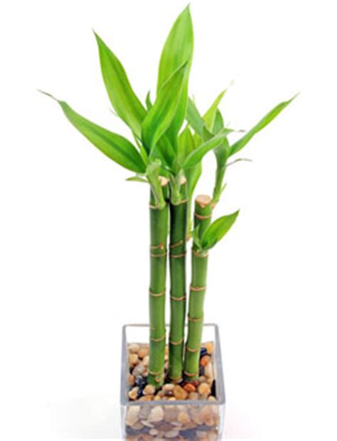 best food for bamboo plants bamboo plants buzzle com