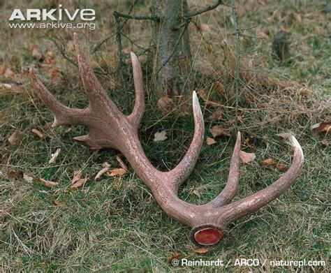deer antler shed deer photo cervus elaphus a23260 arkive